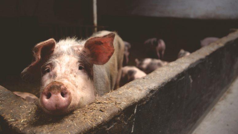 animal-farming-animals-farm-66627