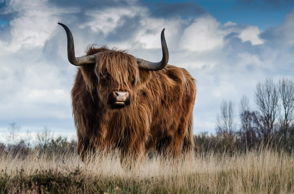 agriculture-animal-beef-139399