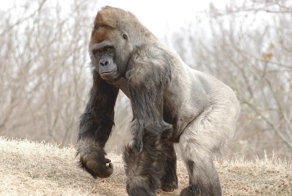 silverback-gorilla-1a-2534-xl